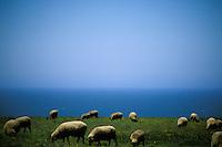 California, Point Arena, Sheep grazing on coastal bluff