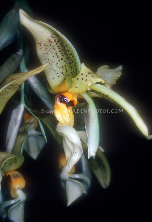 Stanhopea wardii orchid species in bloom, bucket shaped, Ward's Stanhopea, waxy large flowers that are pendant hanging and very spicy fragrant, bloom in summer August, native to Mexico to Panama