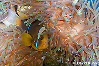 0320-1110  Clark's anemonefish (Yellowtail clownfish), Amphiprion clarkii, with Bulb-tipped Anemone, Entacmaea quadricolor  © David Kuhn/Dwight Kuhn Photography.