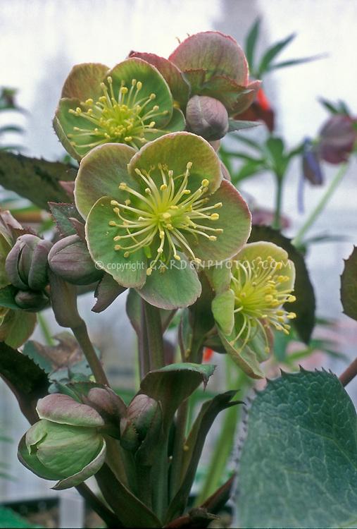 Helleborus sternii Blackthorn Group Hellebore shade perennial