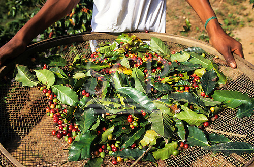 Vale do Paraiba, Brazil. Coffee harvest, beans and leaves on a large sieve.