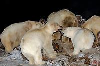 polar bears, Ursus maritimus, scavenging and fighting over a bowhead whale, Balaena mysticetus, carcass at night, 1002 coastal plain of the Arctic National Wildlife Refuge, Alaska, polar bear, Ursus maritimus