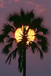 Sunset and palm, Ngamiland, Okavango Delta, Botswana