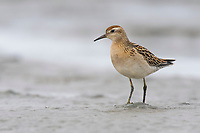 Juvenile Sharp-tailed Sandpiper (Calidris acuminata) foraging on mud flats. Yukon Delta National Wildlfie Refuge, Alaska. September.