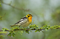 Blackburnian Warbler (Dendroica fusca), South Padre Island, Texas, USA