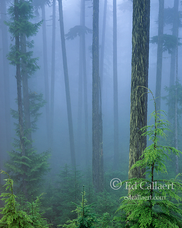 Forest Mist, Hemlock, Olympic National Park, Washington