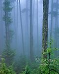 Forest Mist, Hemlock, Olympic National Park, Washington