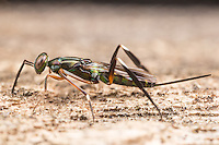 A female Chalcid Wasp (Metapelma spectabile) uses her antennae to sense larvae of wood boring beetles in a fallen tree.