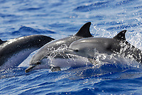 Stenella frontalis, Spotted Dolphin, Surfacing group, Azores-Portugal