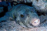 whitespotted pufferfish, Arothron hispidus, Soma Bay, Egypt Red Sea