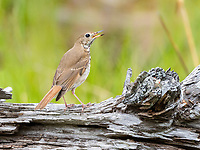 hermit thrush, Catharus guttatus, songbird, singing on log, spring time, Nova Scotia, Canada