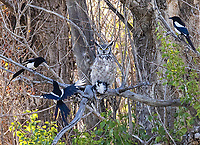 A Great Horned Owl is harassed by Black-billed Magpies after killing one at Camas National Wildlife Refuge.