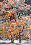 Yosemite National Park, CA: Black oaks (Quercus kelloggii) and ponderosa pine (Pinus ponderosa) of El Capitan Meadow with lingering fall color and a dusting of snow, Yosemite Valley