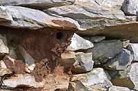 Felsenkleiber, Felsen-Kleiber, Sitta neumayer, Rock Nuthatch, Sittelle de Neumayer, Griechenland, Nest aus Lehm im Schutz einer Legesteinmauer