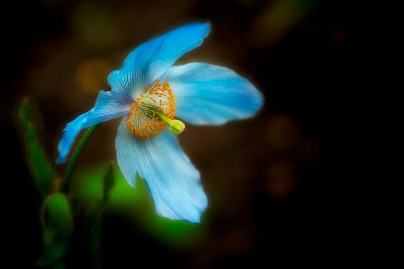 Close up of blue himalayen poppy. Trengwidden Gardens, England, Cornwall