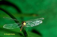 1O05-041z  Skimmer Dragonfly flying - Ruby Meadowhawk Male - Sympetrum rubicundulum