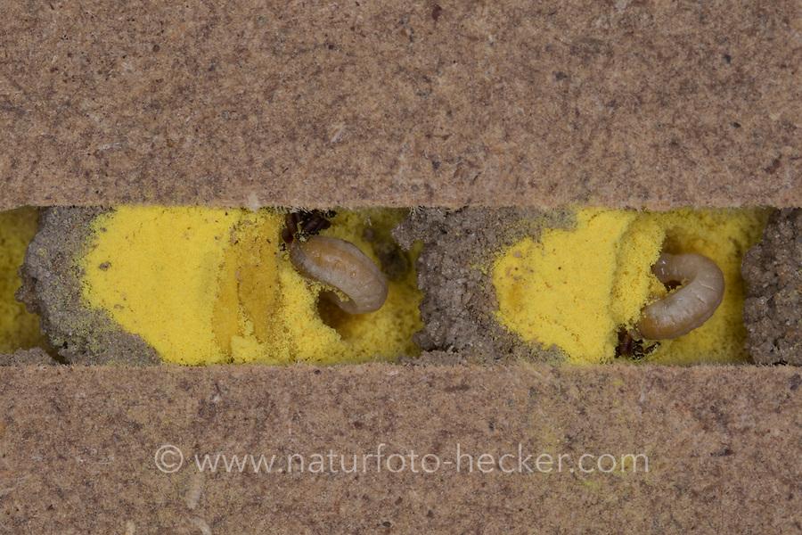 Rote Mauerbiene, Entwicklung, 5. etwa 3 Wochen alte Larve, Larven, Made, Maden in Brutkammer mit Pollen und Trennwand aus Lehm. Entwicklungsreihe Entwicklungsstadien, Brutröhre, Niströhre im Querschnitt, Brutkammer, Brutkammern, Rostrote Mauerbiene, Mauerbiene, Mauer-Biene, Nest, Neströhre, Niströhren, Wildbienen-Nisthilfe, Wildbienennisthilfe, Osmia bicornis, Osmia rufa, red mason bee, mason bee, L'osmie rousse, Mauerbienen, mason bees