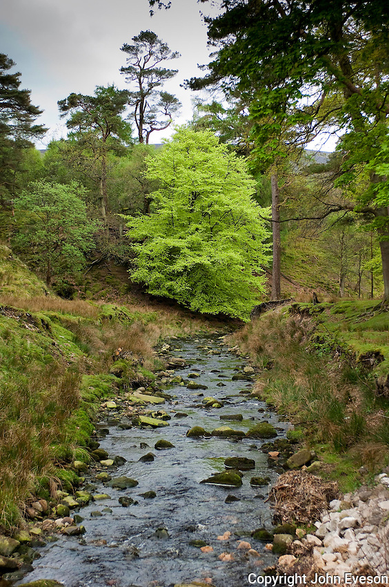 Beech tree with spring leaves in the Trough of Bowland on Marshaw Wyre, Marshaw, Lancaster, Lancashire......Copyright..John Eveson,.Dinkling Green Farm,.Whitewell,.Clitheroe,.Lancashire..BB7 3BN.Tel. 01995 61280.Mobile 07973 482705.j.r.eveson@btinternet.com.www.johneveson.com