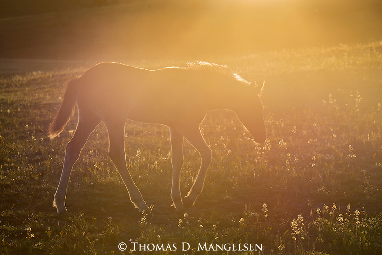 A wild horse foal walks in a field at sunset in the Pryor Mountains, Montana.