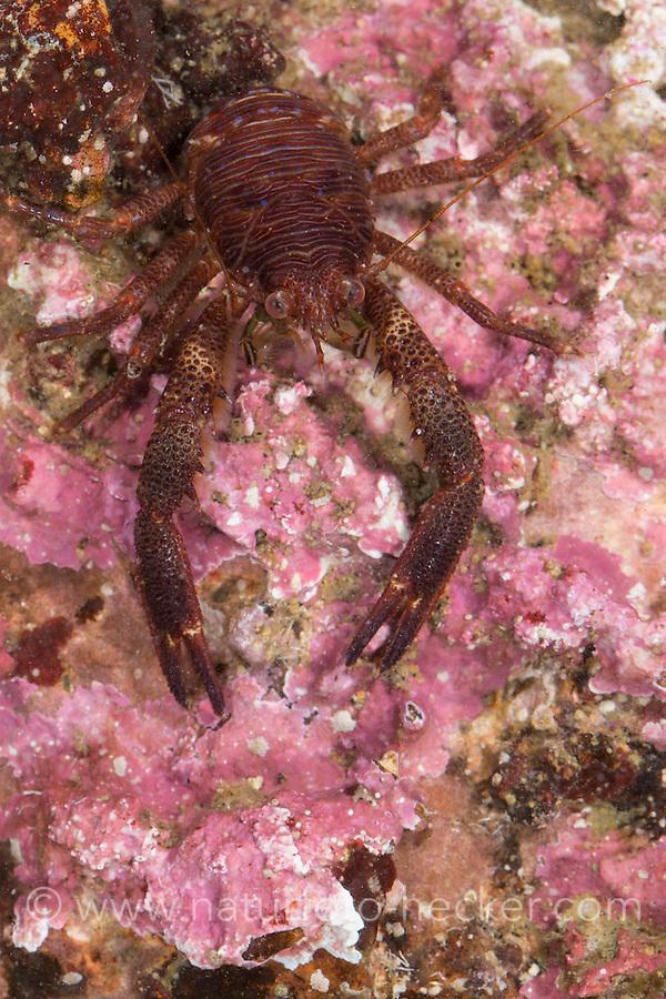 Schuppiger Furchenkrebs, Brauner Furchenkrebs, Brauner Springkrebs, Schwarze Galathea, Galathea squamifera, Galathea digitidistans, Galathea glabra, Black squat lobster, Spiny squat lobster, Montagu's plated lobster