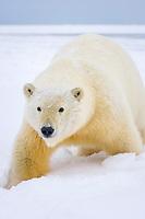 polar bear, Ursus maritimus, polar bear on ice and snow, 1002 coastal plain of the Arctic National Wildlife Refuge, Alaska, polar bear, Ursus maritimus