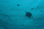 Green sea turtle coming up for a breath in the rain (Chelonia mydas)