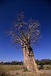 Tree at Okawango