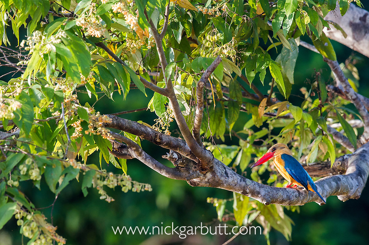 Stork-billed Kingfisher (Pelargopsis or Halcyon capensis) hunting from branch overhanging the river. Kinabatangan River, Sabah, Borneo. September.