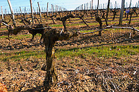 guyot double training old vine vineyard chateau pey la tour bordeaux france