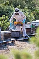 France, Aude (11), Montséret: La Miellerie des Clauses - Apiculteur enfumant une ruche //France, Aude, Montseret, Miellerie des Clauses - Beekeeper smoking the hive