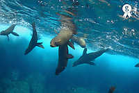 Sea lions (Zalophus californianus) swimming near surface, Ecuador, Galapagos archipelago, Wolf Island, Pacific Ocean (Licence this image exclusively with Getty: http://www.gettyimages.com/detail/82064705 )