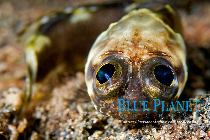 Black-marble Jawfish, Stalix histrio, inexplicably sitting out in the open sand, Lembeh Strait, North Sulawesi, Indonesia, Pacific Ocean