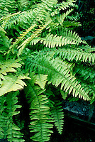 Sword Fern Nephrolepsis cordifolia, shade perennial groundcover