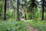 A healthy forest of pine, hemlock and cedar with wild berries and flowers along the banks for the Chewuch River in Washington's Methow Valley near the Pasayton Wilderness and the town of Winthrop.  The Chewuck is a major tributary of the Methow River.
