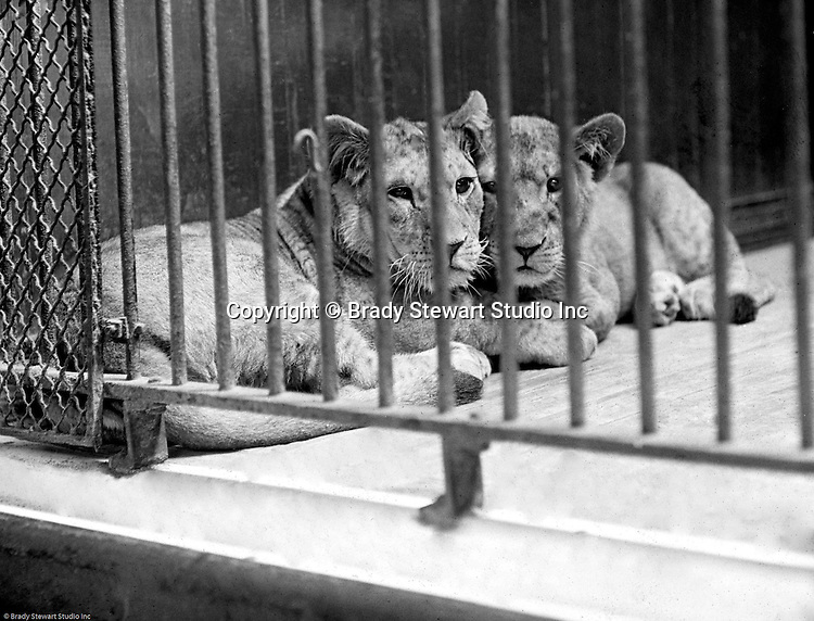 Highland Park:  Two female lions posing for a photograph at the Pittsburgh Zoo.  The zoo opened in 1898 with money donated by Christopher Magee, has evolved into one of the best Zoos for animals - no more cages with concrete floors. The Stewart family visited the park and zoo often since they lived nearby on Wellesley Avenue in Highland Park.