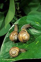 1Y08-096z  Land Snail - east coast land snail - Sephia hortensis