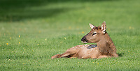 An elk calf rests on the lawns at Mammoth Village.
