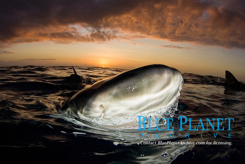 Lemon shark, Negaprion brevirostris, at sunset, Northern Bahamas, Caribbean, Atlantic Ocean