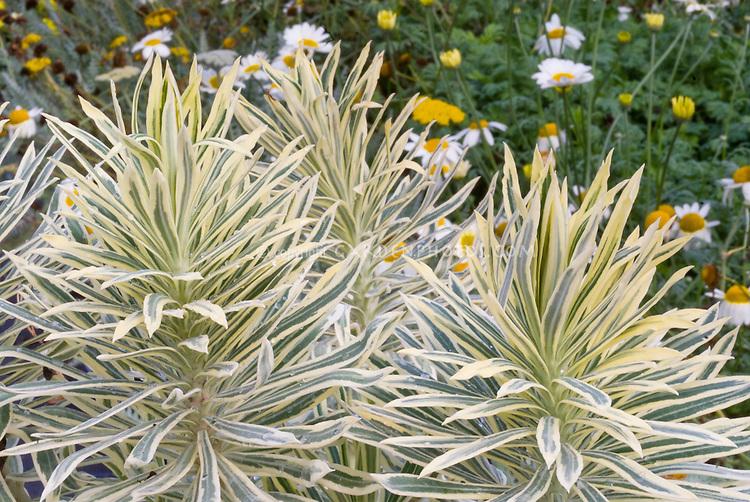 Euphorbia characias 'Tasmanian Tiger' perennial variegated foliage plant leaves