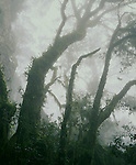 Beech Trees in Fog<br /> New England NP<br /> NSW