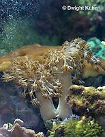 1Y51-509z Pulsing Polyp Coral, Xenia spp.