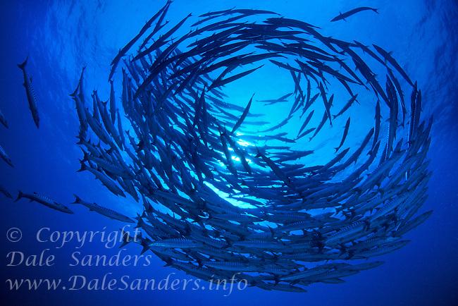 School of Chevron Barracuda (Sphyraena putnamiae) circle underwater in the Celebes Sea at Sipidan Island off Borneo in Malaysia.