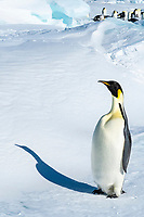 Emperior Penguin Colony in early October on Snow Hill Island, Antarctic