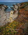 Mock Heather, Buckwheat, Shale Cove, Montana de Oro State Park, San Luis Obispo County, California