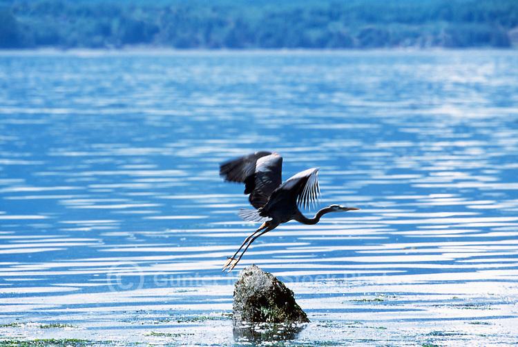 Malcolm Island, BC, British Columbia, Canada - Great Blue Heron taking Flight