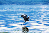 Malcolm Island, BC, British Columbia, Canada - Great Blue Heron taking Flight