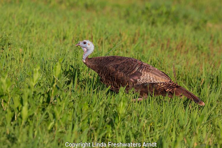 Hen wild turkey feeding in a summer field in northern Wisconsin.