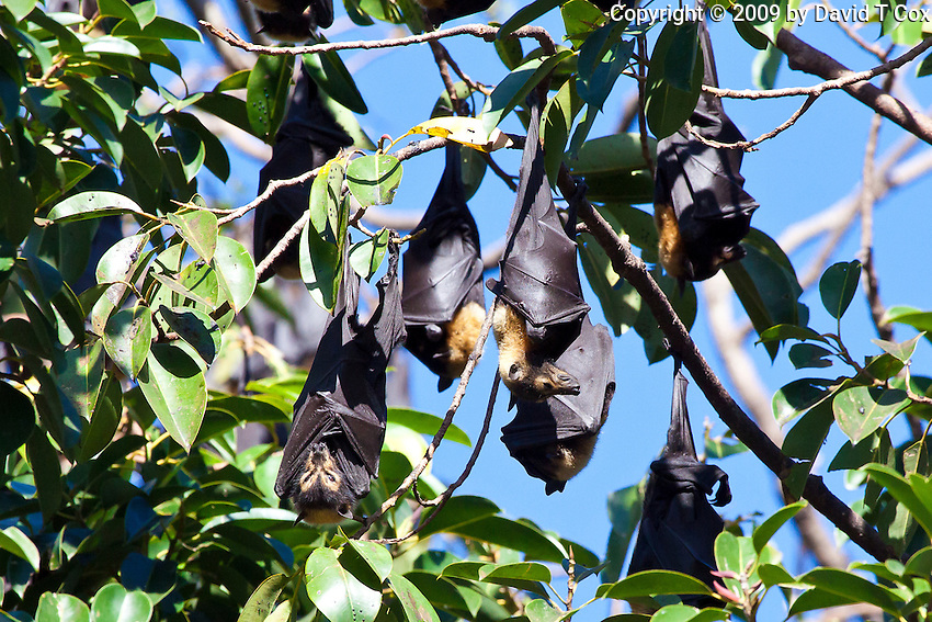 Spectacled Fruit Bat, Cairns, Queensland, Australia