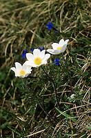 Alpen-Kuhschelle, Alpen-Küchenschelle, Pulsatilla alpina, Anemone alpina, Alpine pasqueflower, Alpine anemone
