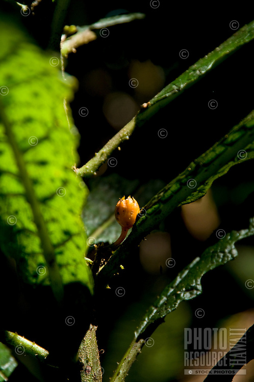The flower bud and leaves of the rare haha plant, Hawai'i.